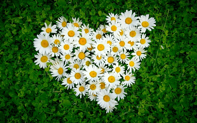 """white_daisy_flowers_in_the_shape_of_love_heart-other(1)"""
